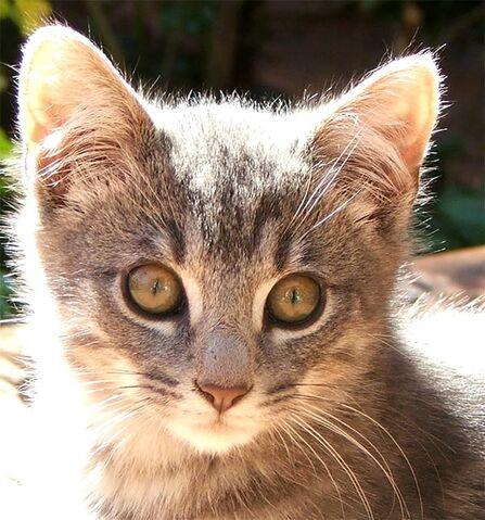 File:Little-grey-kitten-2-1-.jpg