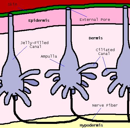 File:Ampullae Diagram.png