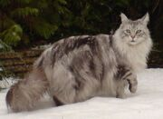 MaineCoonSilver