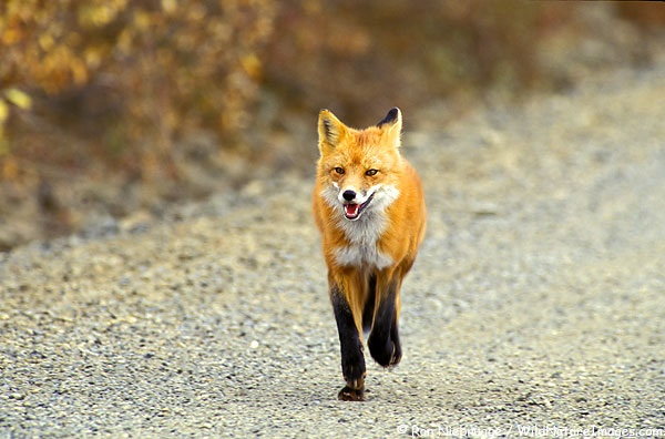File:The Fox.jpg