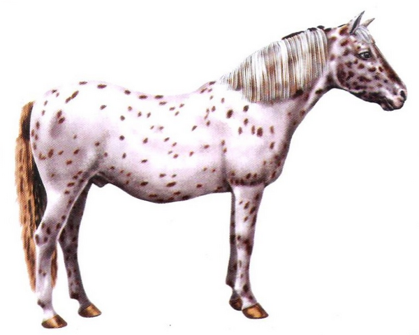 File:American pony.png