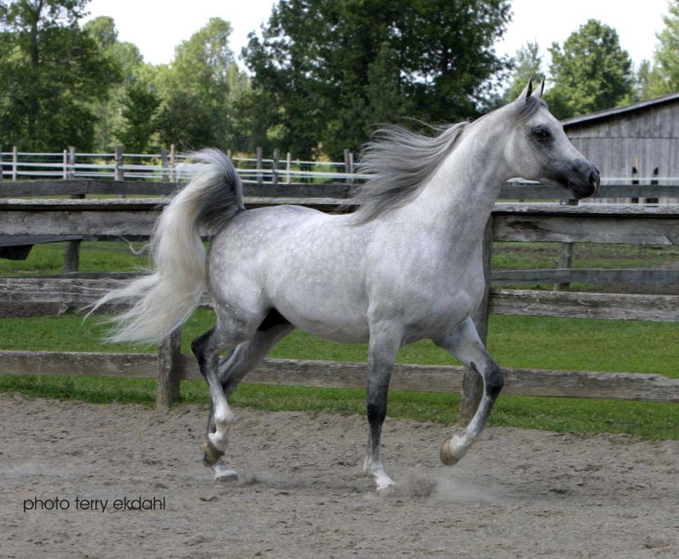 Arabian wikihorses fandom powered by wikia - Arabian horse pictures ...