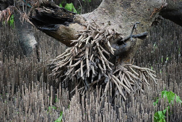 File:800px-Pneumatophore overkill - grey mangrove.jpg