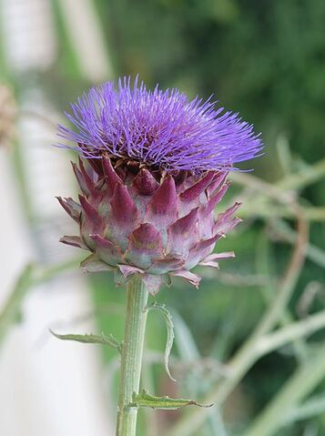 File:447px-Cynara July 2011-1.jpg