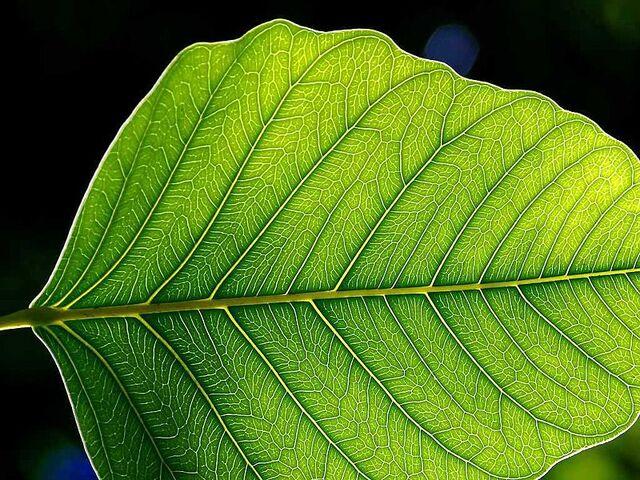 File:800px-Leaf 1 web.jpg