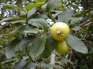 Psidium guajava fruit2