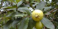Growing Guavas