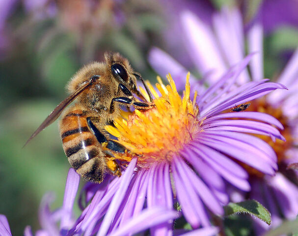 File:759px-European honey bee extracts nectar.jpg