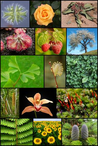 File:Diversity of plants image version 5.png