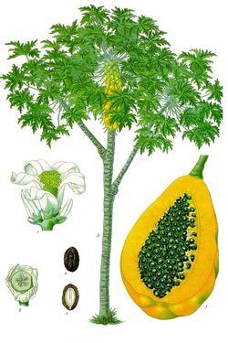 Carica papaya - Köhler–s Medizinal-Pflanzen-029