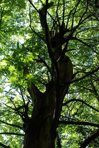 File:400px-Sweet Chestnut Forest.jpg
