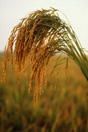 US long grain rice
