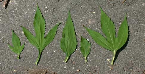 File:Leaf samples from the giant ragweed.jpg