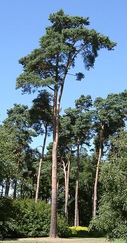 313px-PinusSylvestris