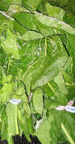File:Turnip Greens-1.jpg