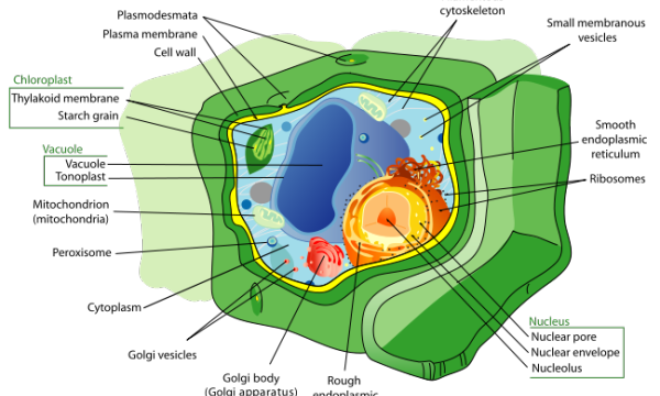 File:660px-Plant cell structure svg.png
