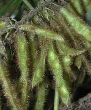 Kudzu seedpods 6580
