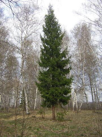 File:450px-Picea abies single tree.jpg