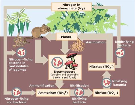 File:Nitrogen Cycle.jpg