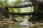 800px-Living root bridges, Nongriat village, Meghalaya2