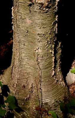 File:Yellow birch trunk.jpg