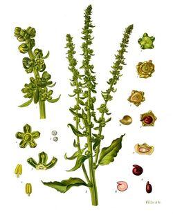 Beta vulgaris - Köhler–s Medizinal-Pflanzen-167
