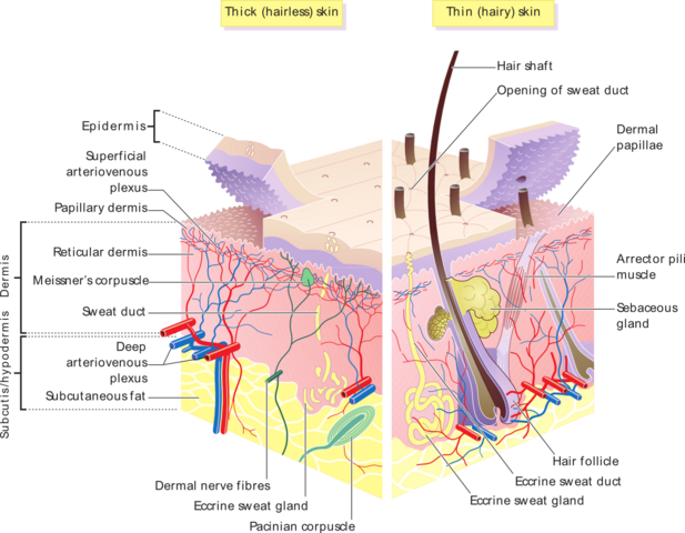 File:Skin layers.png