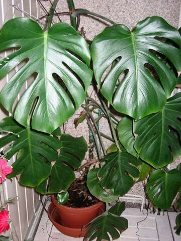 File:Monstera deliciosa.jpg