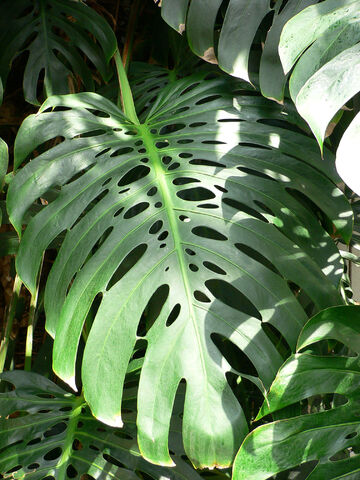 File:Monstera deliciosa leaf.jpg