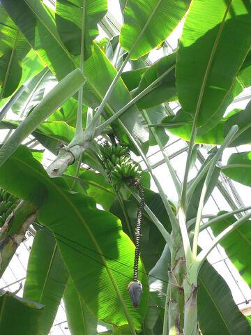 File:Musa acuminata.jpg