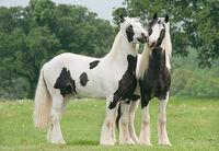 Tinker Pferd.jpg