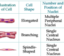 Muskelfysiologi