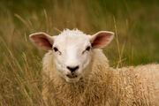 A sheep in the long grass