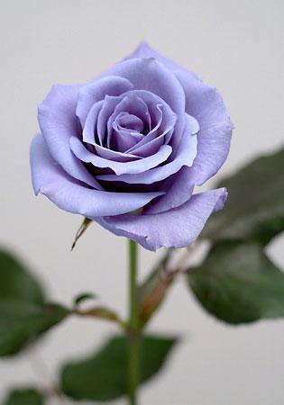 File:Blue-rose.jpg