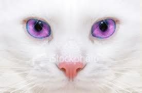 File:White Cat with Purple Eyes.png