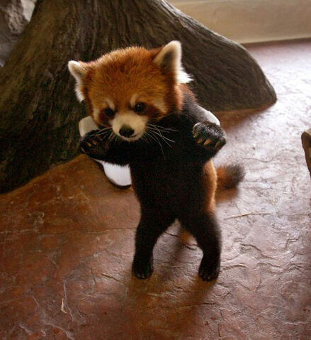 File:Adorable baby panda.jpg