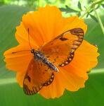 Orange butterfly on orange