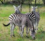 XZimbabwe Zebras on the Look Out!