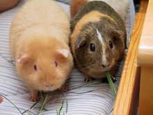 File:Two adult guinea pigs.jpg