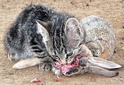 230px-Feral-kitten-eating-adult-cottontail-rabbit-1-