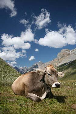 File:CH cow 2.jpg