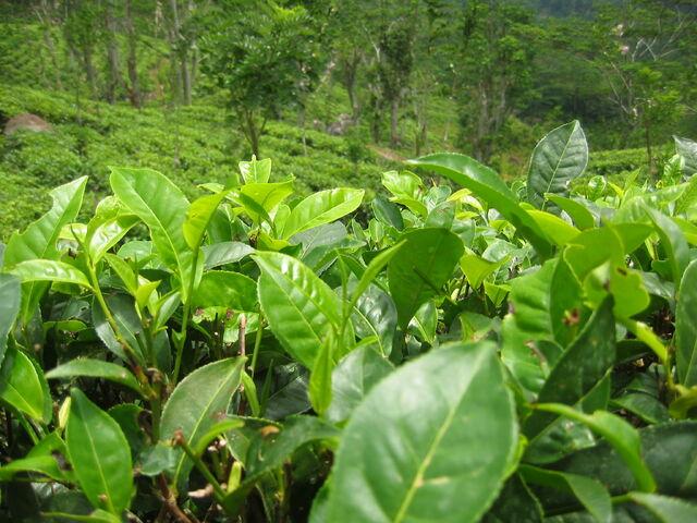 File:Tea plants.jpg