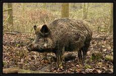 Wild pig 1