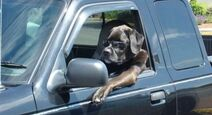 Cool Driving Dog