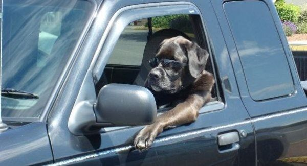 File:Cool Driving Dog.jpg