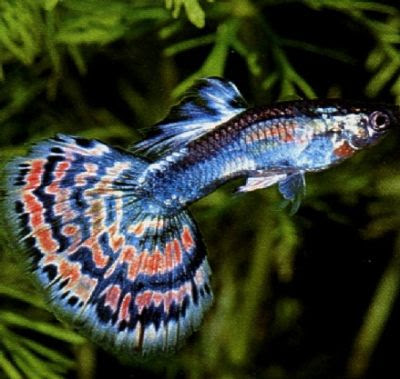 File:Guppy Fish With Photos 03.jpg