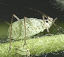 Macrosiphum albifrons
