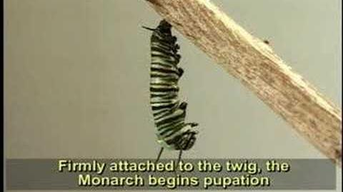 Complete Life Cycle of the Monarch Butterfly