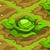 Cabbage 70