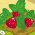 Strawberry 70